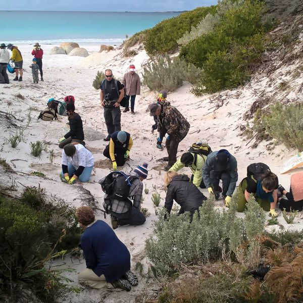 Sea Spurge Removal Team In Action