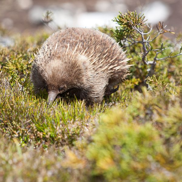 Th_Animals_Echidna_E_079