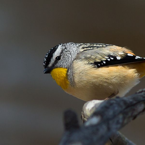 Spotted Pardalote Alfred Schulte 1