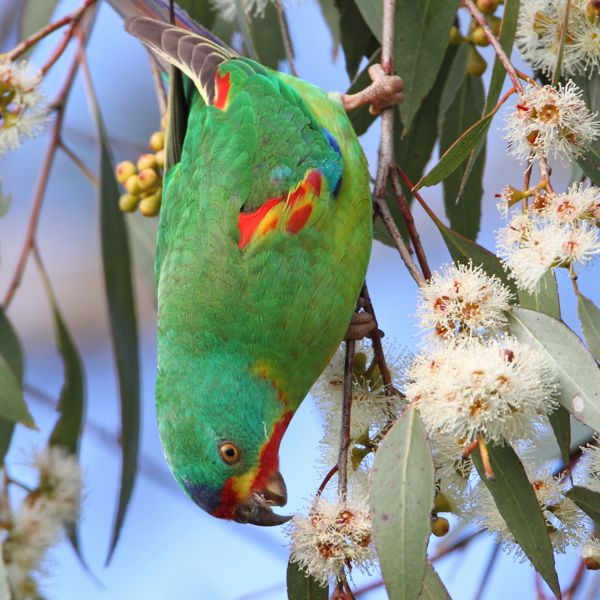 Swift Parrot Chris Tzaros