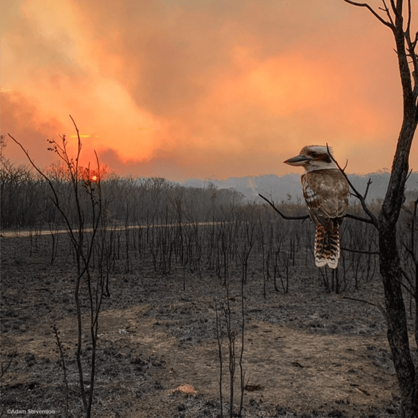 Kookaburra in tree, Australian bushfire, Tasmanian Walking Company Fund