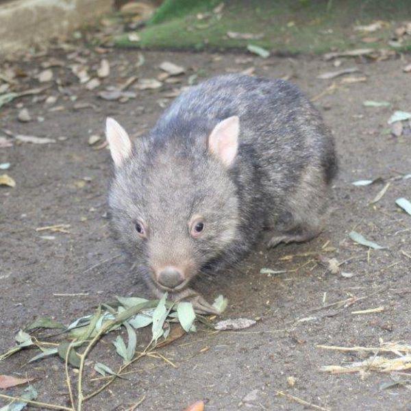 Obi wombat